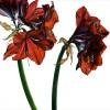 Amaryllis – 'Royal Velvet'