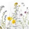 'Wildflowers on the shingle at Slapton Ley'