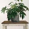 Fatsia: Grey pot, great leaves