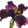 Iris Series 7