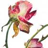 'A rose in winter'