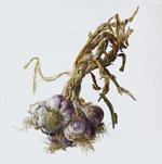 Purple-Garlicsm
